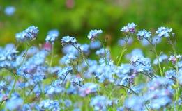 Het blauwe vergeet-mij-nietje van het poeder Stock Foto's