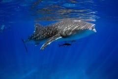 Het Blauwe water van de walvishaai Royalty-vrije Stock Foto's