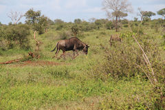 Het blauwe Wildebeest-lopen Stock Afbeelding