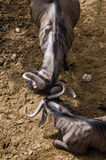 Het blauwe Wildebeest-spelen met zijn hoornen Stock Afbeeldingen