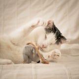 Het blinde kat spelen met een muis royalty-vrije stock foto's