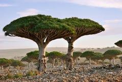 Het bloedboom van de draak Royalty-vrije Stock Afbeeldingen