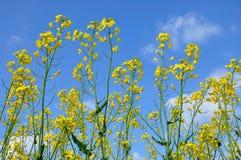 Het bloeien. Royalty-vrije Stock Fotografie