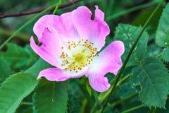Het bloeien Stock Afbeelding