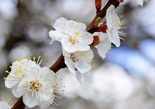 Het bloeien abrikozenclose-up in de vroege lente, beschikbare ruimte royalty-vrije stock afbeelding
