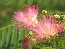 Het bloeien Albizia julibrissin Durazz Royalty-vrije Stock Afbeeldingen