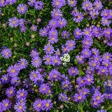 Het bloeien Alpiene asters - Aster Alpinus Royalty-vrije Stock Foto's
