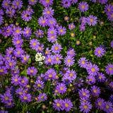 Het bloeien Alpiene asters - Aster Alpinus Stock Foto