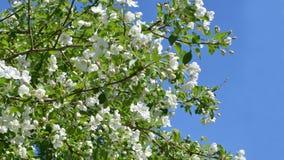 Het bloeien Apple boomclose-up tegen de blauwe hemel royalty-vrije stock fotografie