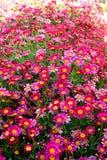 Het bloeien argyranthemum Stock Afbeeldingen