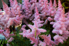 Het bloeien Astilba Royalty-vrije Stock Fotografie