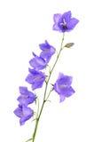 Het bloeien bellflowers stock foto