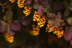 Het bloeien Berberis thunbergii Stock Foto's