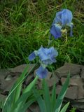 het bloeien blauw irisclose-up stock afbeelding