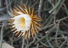 Het bloeien bloemkoningin van de nacht Selenicereusgrandiflorus die één slechts nacht bloeien Stock Foto