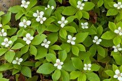 Het bloeien Bunchberry tapijtcornus canadensis Royalty-vrije Stock Fotografie