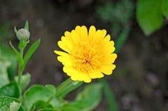 Het bloeien calendula in de tuin Geneeskrachtige installatie stock foto's