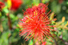 Het bloeien Calliandra Stock Fotografie