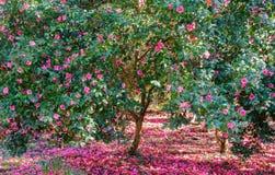 Het bloeien Camellia Trees met Roze Bloemen Royalty-vrije Stock Afbeeldingen