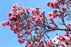 Het bloeien Cherry Blossom Tree Royalty-vrije Stock Fotografie