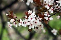 Het bloeien Cherry Plum Royalty-vrije Stock Afbeeldingen