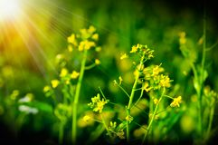 Het bloeien choy som in tuin, verse organische groene groente Royalty-vrije Stock Foto