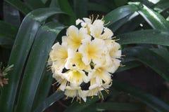 Het bloeien clivia in de botanische tuin stock fotografie