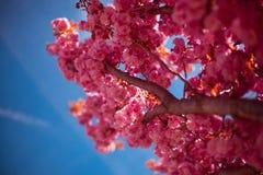 Het bloeien het close-up van de sakuraboom op een blauwe hemelachtergrond royalty-vrije stock afbeelding