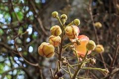Het bloeien Couroupita guianensis of kanonskogelboom stock fotografie