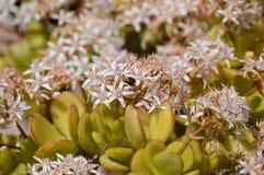Het bloeien Crassula Ovata Royalty-vrije Stock Foto's