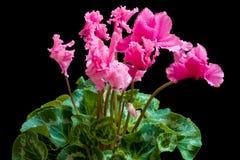 Het bloeien cyclaam Royalty-vrije Stock Afbeeldingen