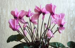 Het bloeien cyclaam met bloemen en groene bladeren Royalty-vrije Stock Foto