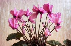 Het bloeien cyclaam met bloemen en groene bladeren Stock Fotografie