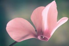 Het bloeien cyclaam met bloemen en groene bladeren Royalty-vrije Stock Fotografie