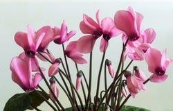 Het bloeien cyclaam met bloemen en groene bladeren Stock Foto's