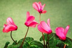 Het bloeien cyclaam met bloemen en groene bladeren Stock Afbeelding