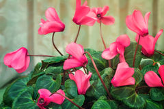 Het bloeien cyclaam met bloemen en groene bladeren Royalty-vrije Stock Afbeelding