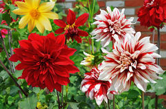 Het bloeien dahlia's verschillende verscheidenheden op een bed Royalty-vrije Stock Fotografie