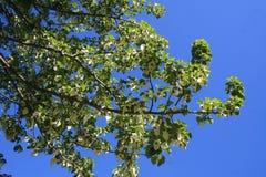 Het bloeien davidiainvolucrata van de wimpelboom Royalty-vrije Stock Afbeelding