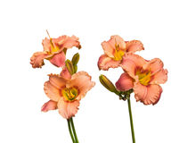 Het bloeien Daylily op wit wordt geïsoleerd dat Royalty-vrije Stock Foto's