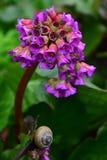 Het bloeien in de lente Bergenia en een slak op een blad Royalty-vrije Stock Foto's