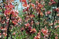 Het bloeien in de de lenteboomgaarden Royalty-vrije Stock Afbeeldingen