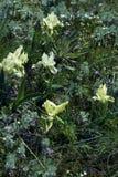 Het bloeien in de de lenteboomgaarden Stock Afbeeldingen