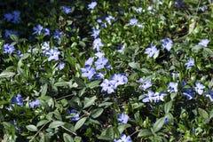 Het bloeien in de de lenteboomgaarden Stock Fotografie