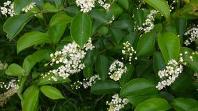 Het bloeien de lenteclose-up van de vogelkers, takken in wind Prunuspadus Het videolengte hd schieten van statische camera stock videobeelden