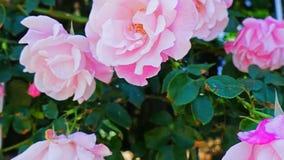 Het bloeien in de roze tuin stock videobeelden