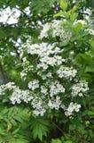 Het bloeien de sombere regenachtige dag van struikspirea Stock Foto