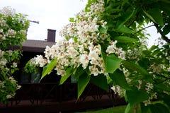 Het bloeien in de tak` catalpa ` van de de lenteboom stock afbeelding