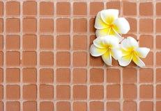 Het bloeien de witte bloemen van Plumeria of Frangipani-op de baksteenvloer stock fotografie