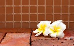 Het bloeien de witte bloemen van Plumeria of Frangipani-op bruine kleurenbri stock afbeeldingen